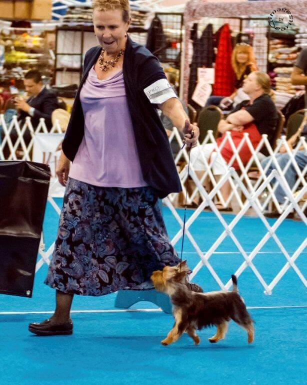 """Indy"" Ch. Tessier Wyntuk Indiana Jones, owned by Pam Gates"